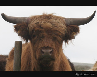 Highland Cattle Near Braidley, Coverdale