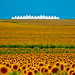 Denver International Airport and a whole bunch of sunflowers.