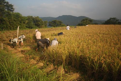 有機農業靠健康的土地並能體現農村精神,仰山文教基金會草擬有機農業促進條例,希望政府硬起來。圖為貢寮水梯田收割。