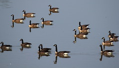 Canada Geese at Bladensburg