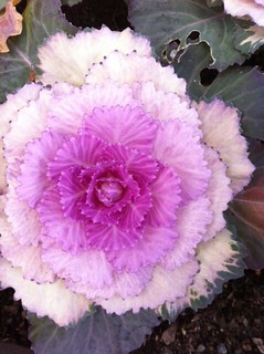 Ornamental cabbage flower 2(iPhone)