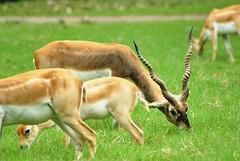 springbok(0.0), pronghorn(0.0), animal(1.0), prairie(1.0), antelope(1.0), grass(1.0), mammal(1.0), herd(1.0), grazing(1.0), fauna(1.0), white-tailed deer(1.0), meadow(1.0), impala(1.0), pasture(1.0), savanna(1.0), grassland(1.0), safari(1.0), gazelle(1.0), wildlife(1.0),