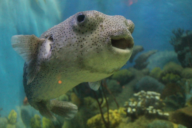 Black spotted puffer fish at jenkinson 39 s aquarium flickr for Puffer fish aquarium