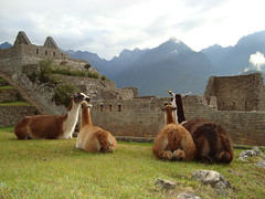 alpaca(0.0), wildlife(0.0), animal(1.0), mammal(1.0), llama(1.0), fauna(1.0), vicuã±a(1.0), guanaco(1.0),