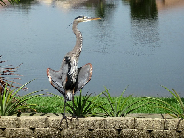 Great Blue Heron Wall 20110912