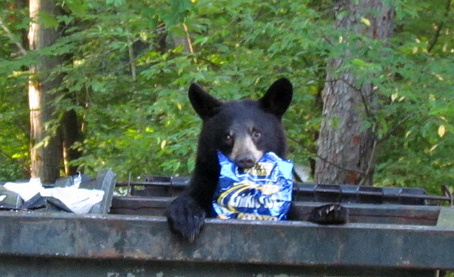 A black bear peeks out of a dumpster