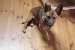 german shepherd dog(0.0), street dog(0.0), wolfdog(0.0), dog breed(1.0), animal(1.0), puppy(1.0), dog(1.0), pet(1.0), mammal(1.0), belgian shepherd malinois(1.0),