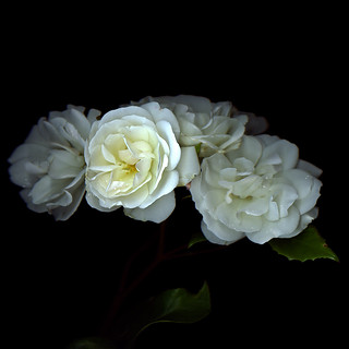 I LEAVE YOU WITH WHITE ROSES FROM OUR GARDEN...