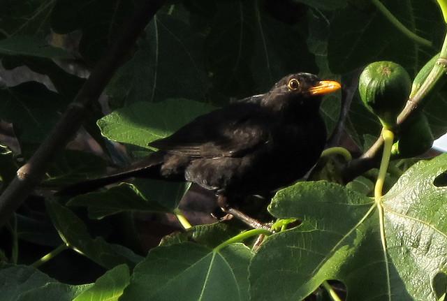 5465 blackbird eating fig