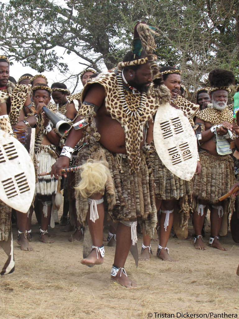 Leopard skins are in increasing demand among members of South Africa's Shembe Baptist Church, which has adopted the Zulu practice of wearing spotted cat fur (mainly leopard) during religious celebrations. Although trade in leopard skins is illegal in South Africa, the practice is widespread and expanding among the Shembe's estimated 5 million members. In order to reduce demand for real leopard skins, Tristan Dickerson, Panthera's Leopard Program Coordinator, has spent the past year working with digital designers and clothing companies to create a high-quality and affordable faux leopard skin which he will present at a future Shembe gathering.  This photo was taken by Tristan at a Shembe gathering that he visited to investigate the use of real and fake leopard skins.   Watch the CNN Inside Africa videos featuring Tristan and the Munyawana Project at bit.ly/pC6hxa  Learn more about the project at bit.ly/grsB9V   Learn more about Tristan at bit.ly/pzuAGB