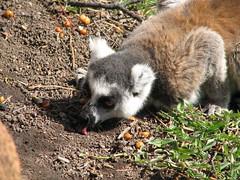 animal, raccoon, marsupial, mammal, fauna, lemur, viverridae, wildlife,