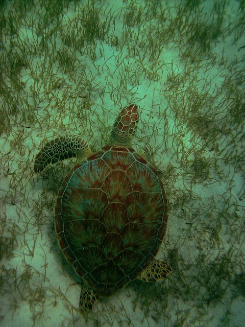 Green Turtle at Tobago Cays