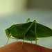Common True Katydid - Photo (c) John Beatty, all rights reserved