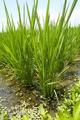 Rice Plant macro