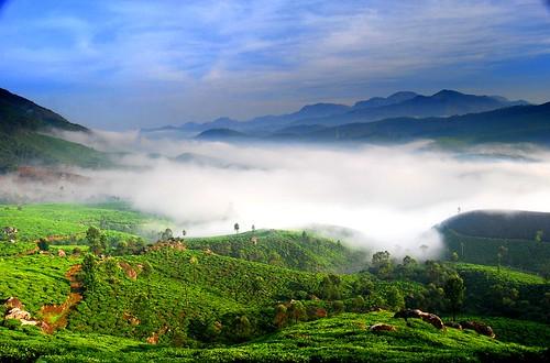 tea kerala plantation teaplantation westernghats munnar arayil