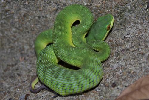 Trimeresurus Albolabris The Reptile Database