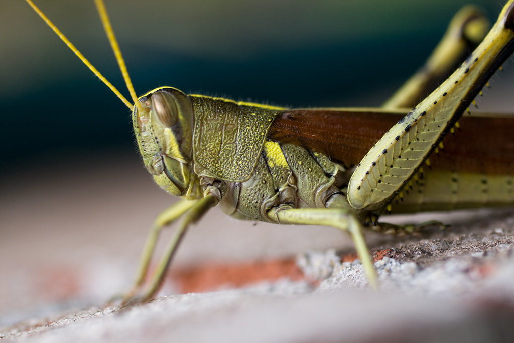 Macro Grasshopper (Orthoptera) by Michael Whay