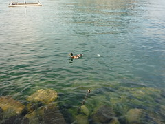 Patos en Lugano