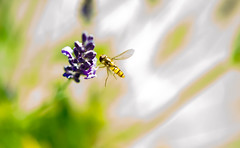 Hoverfly and lavender. By Thomas Tolkien