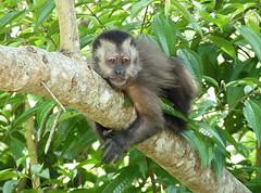 animal, rainforest, monkey, mammal, fauna, old world monkey, new world monkey, jungle, wildlife,