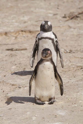 African Penguins by Mark & Tara