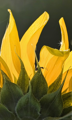 summer plant flower green yellow bug insect ant petal sunflower platinumheartaward