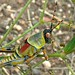 Elegant grasshopper - Photo (c) Bernard DUPONT, some rights reserved (CC BY-NC-SA)