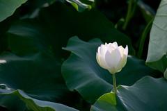 flower, leaf, plant, nature, macro photography, flora, sacred lotus, lotus, green, plant stem, proteales, petal, aquatic plant,