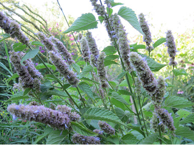 Anise hyssop has licorice scented leaves and long-lasting blooms that draw bees and cabbage white butterflies. Photo by Ashley Gamell.