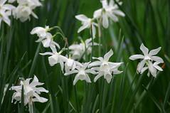 hymenocallis(0.0), galanthus nivalis(0.0), gladiolus(0.0), hyacinth(0.0), flower(1.0), hymenocallis littoralis(1.0), plant(1.0), flora(1.0), narcissus(1.0),