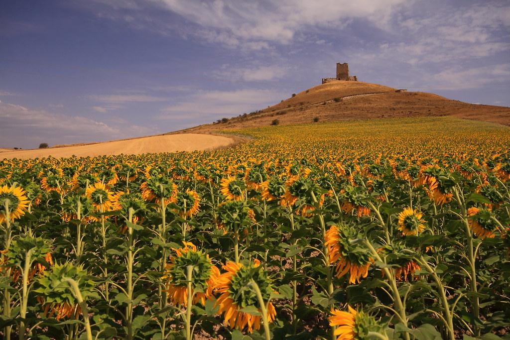 夕暮れ時のスペインのひまわり畑と丘