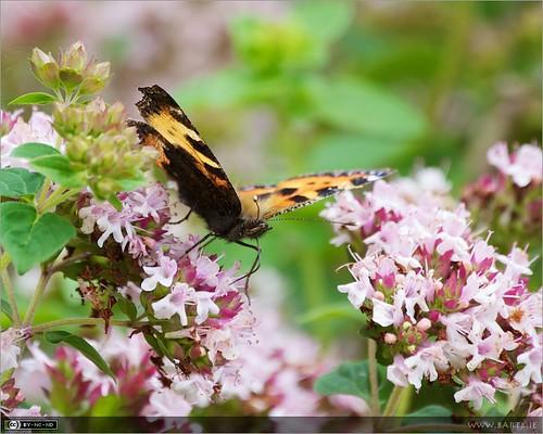 ireland flower macro butterfly insect cavan herb aglaisurticae smalltortoiseshell aglais marjoram origanum origanumvulgar