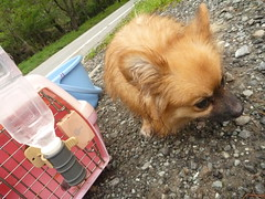 tibetan spaniel(0.0), dog breed(1.0), animal(1.0), german spitz klein(1.0), dog(1.0), pet(1.0), german spitz(1.0), mammal(1.0), german spitz mittel(1.0), pomeranian(1.0),