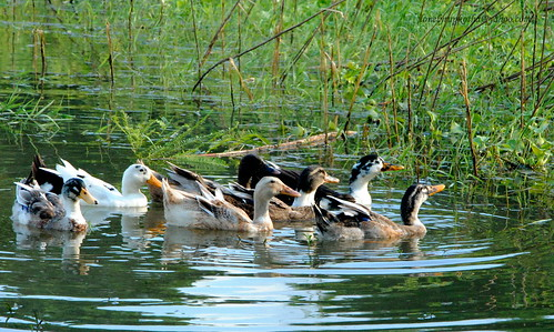 Ducks in the pond...