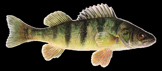 Perch Fish Snip