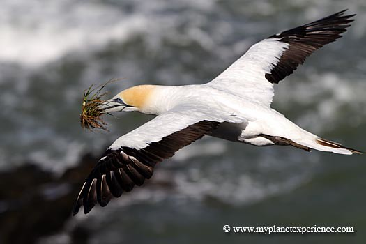New Zealand - gannet in flight  #1