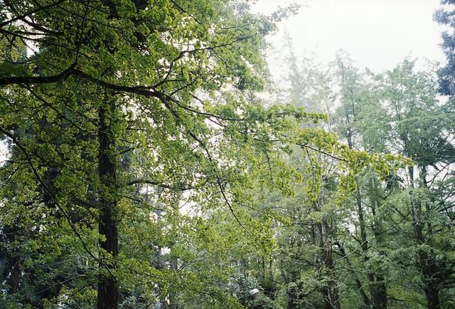 溪頭的銀杏開始變黃 gingko tree