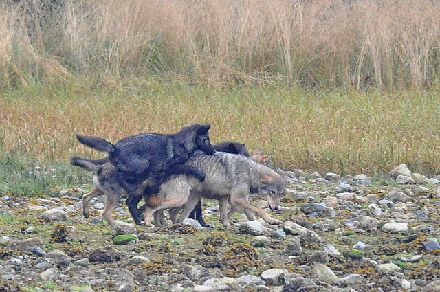 Z Vancouver >> Wolves on Vancouver Island | Flickr - Photo Sharing!