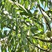 Northern California Black Walnut - Photo (c) loarie, some rights reserved (CC BY-NC-SA)