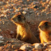 Prairie Dogs in Bryce Canyon