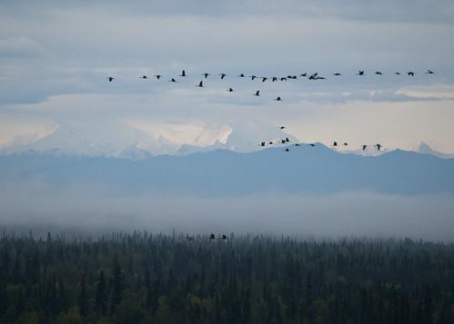 mountains alaska flock ak deborah migration fairbanks sandhillcranes hess
