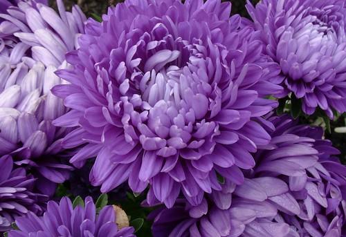 Blaue Asternblüten   20- 12/648