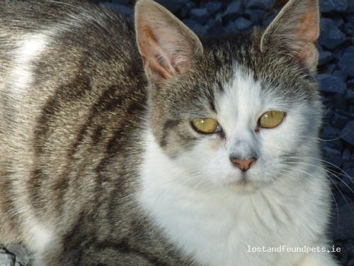 Fri, Aug 26th, 2011 Lost Female Cat - The Local Area, Kilmaley, Clare