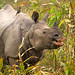 Greater One-horned Rhinoceros (Bret Charman)