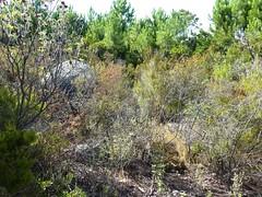 Maquis bien encombré entre les deux bois de pins