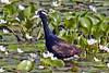 Hathikhira Birds-149 - Metopidius indicus by Vijay Anand Ismavel