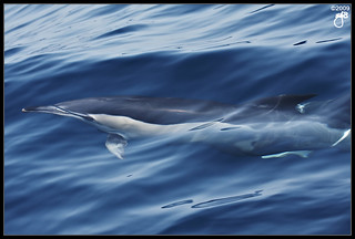 Common Dolphin I