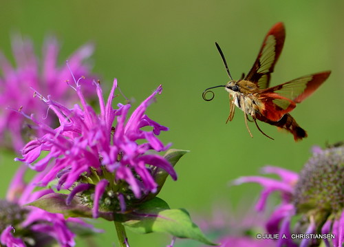 Hummingbird Moth......