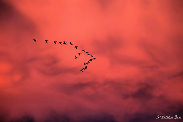 geese sunset, moon rising 002b