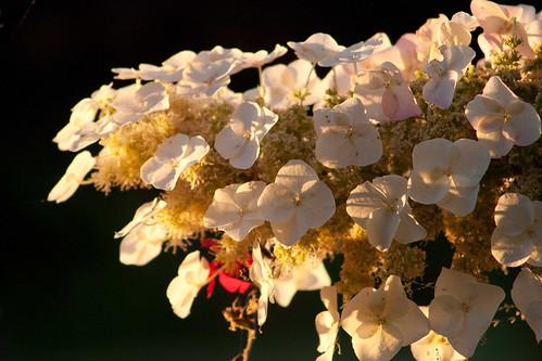 morning flower nature hydrangea